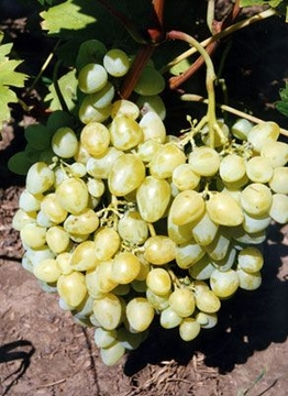 Тип квітки сортів винограду