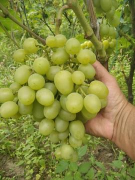Цiкаві факти про виноград