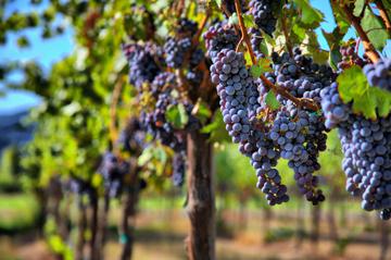 Календарний план догляду за виноградом