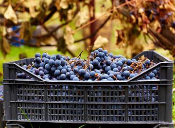 Як зберігати виноград