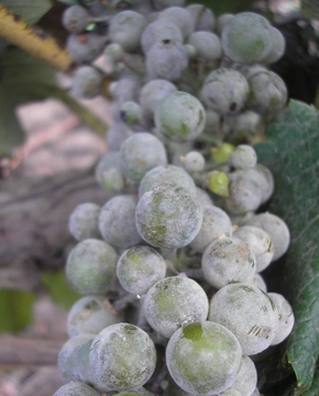 Хвороби винограду