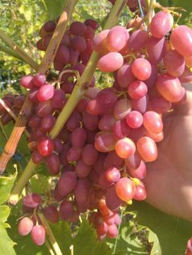 Виноградний сік - чим корисний?